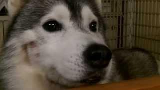 愛犬のハスキーに話しかけられたので話してみました。