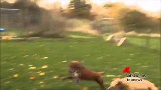 Due ex cani da combattimento si incontrano........