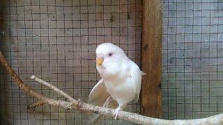 Top Hits -  Ternak Burung Haikal Alfarizi