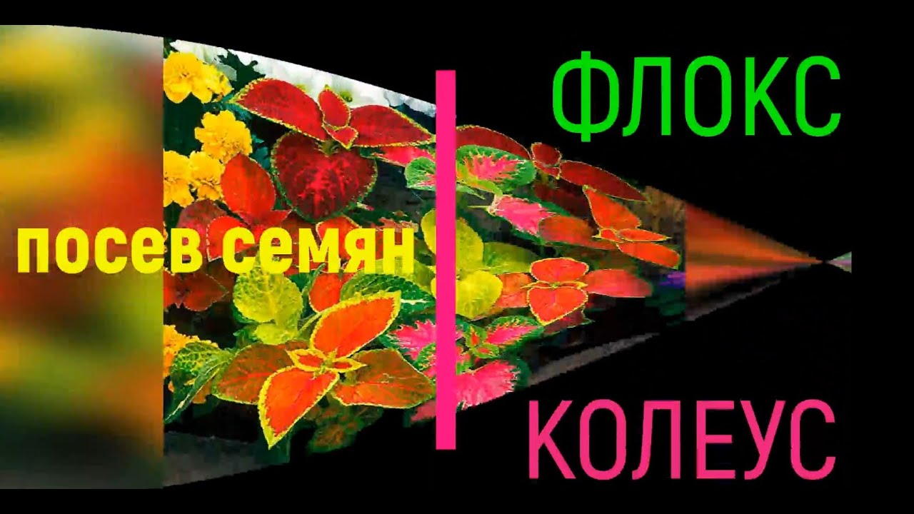 Посев семян: Флоксы (Phlox) и Колеус (Coleus)