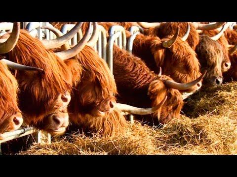 Insolite : les Highlands d'Ecosse s'installent dans le Nord