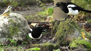 Video for Cats to Watch : Tiny Birds and Magpies
