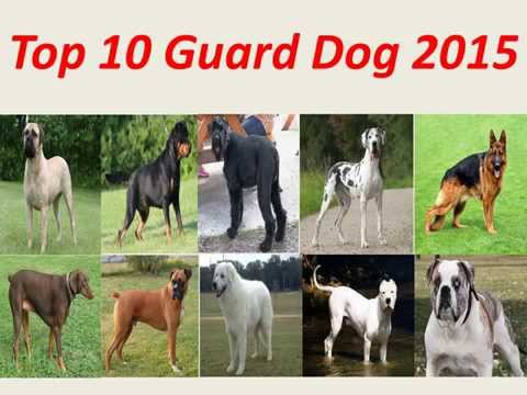 top 5 guard dogs funnydog tv