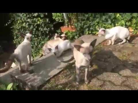 Siamese cat on Street - in Switzerland not Thailand