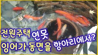 #전원주택#연못#비단잉어#동면비법#항아리에서#겨울잠을자요!#Hibernation Technique for Carp in Housing Pond screenshot 5