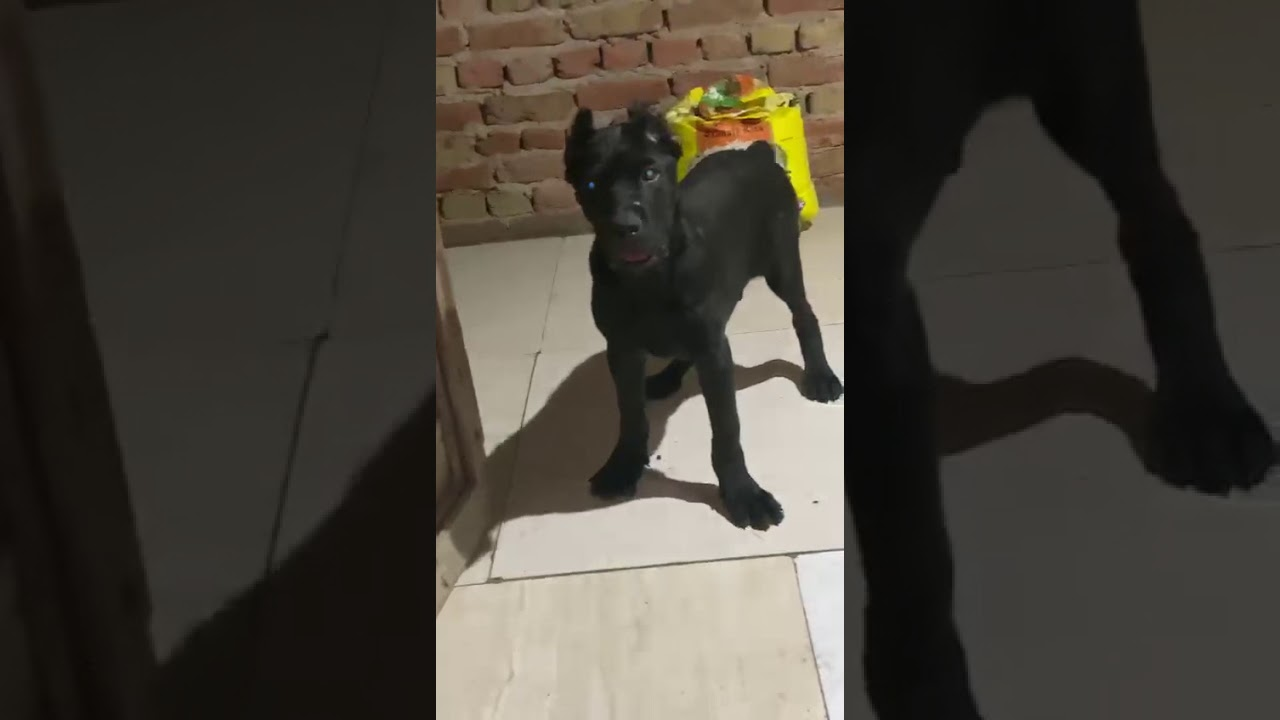 Cane Corso champion bloodline Male puppy in Delhi India available for show homes