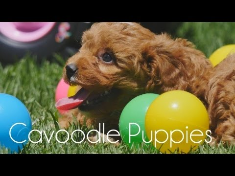 Cavoodle puppies soaking up the sun!!