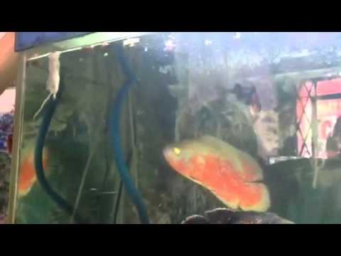 Cá Tai Tượng ăn chuột bạch sống nguyên con