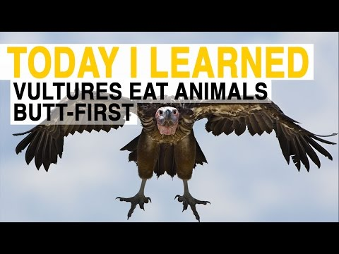 TIL: Vultures Have to Eat Animals Butt-First | Today I Learned