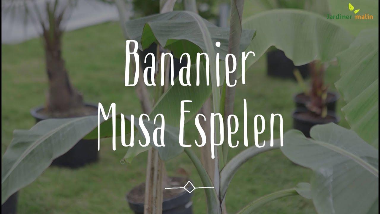 Bananier, Musa espelen : conseils d\'expert - YouTube