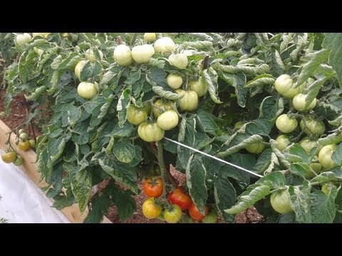 Томаты самые ранние сорта томатов