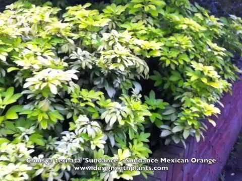 Choisya ternata 'Sundance' -Sundance Mexican Orange Blossom