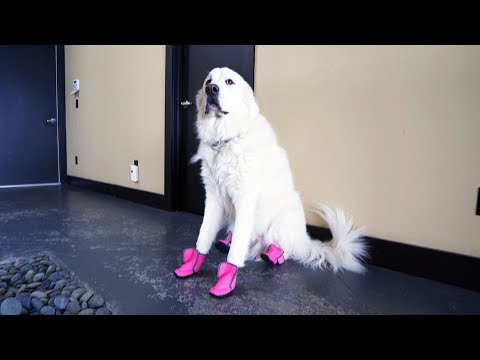 DOGS TRY ON SHOES FOR THE FIRST TIME (SCS #130)