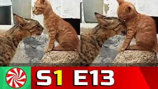 Funny Cat Videos for Kids | S1-EP13 | Cat Love || Capture Candy Kids TV
