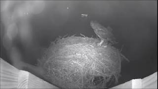 Wolf Bay Osprey Cam Male visits 10:08pm Female brings prey 10:10pm feeds owlets 11:12pm 2-24-2018 thumbnail
