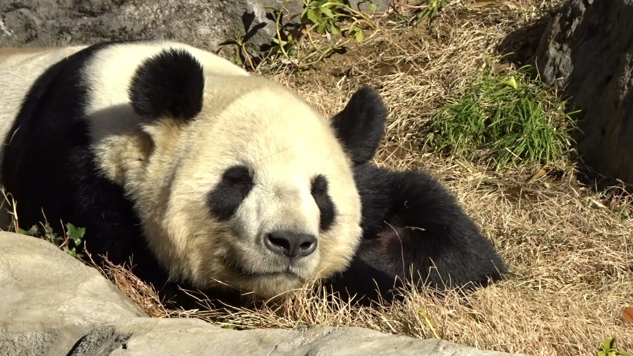 眠りのもりのリーリー @上野動物園 パンダのもり