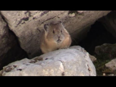 American Pika - Rare Mammal Species - Ochotona princeps (HD)