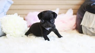 Funny and Cutest Pug Puppies Video Compilation