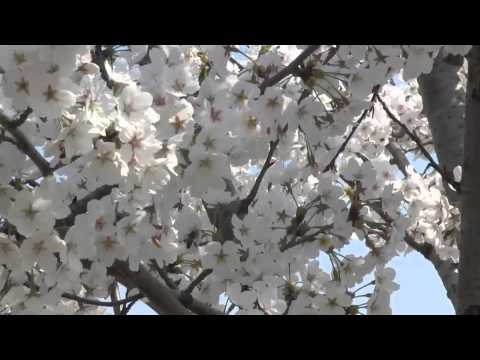 Cherry Blossoms on Camp Mujuk in Pohang, South Korea 2014