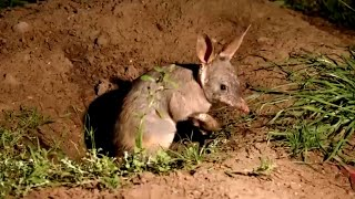 Adorable Bilbies Freed on Protected Land to Help Species