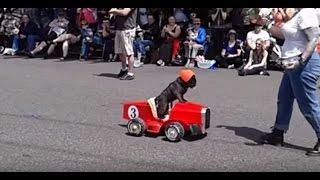 Viral Video Uk: Pug Driving Racing Car!