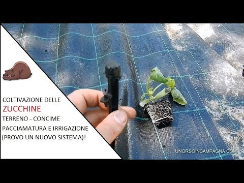 Coltivazione Delle Zucchine Terreno Concime Pacciamatura Ed Irrigazione