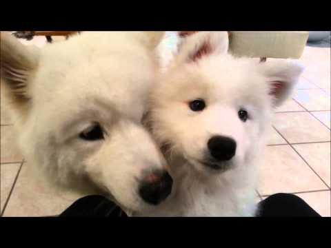 Welcome, Samoyed Puppy Haku!