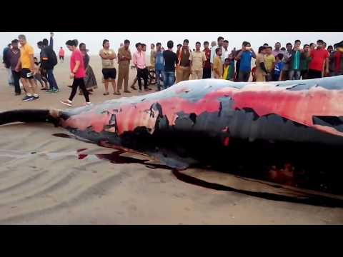 Whale Fish washed on the Juhu Beach Shore Mumbai INDIA