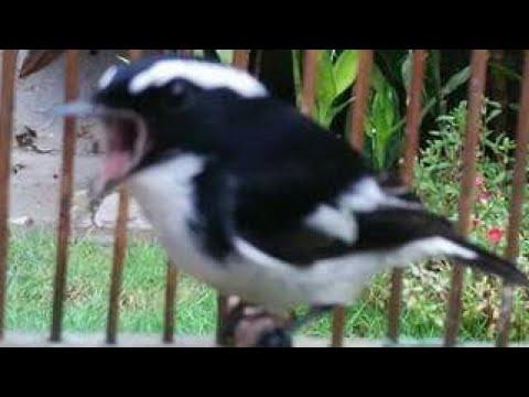 Pancingan Burung Decu Kembang Youtube