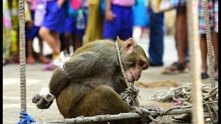 E293 猴子在印度横行霸道,政府出奇招:捉住一只奖励50元!