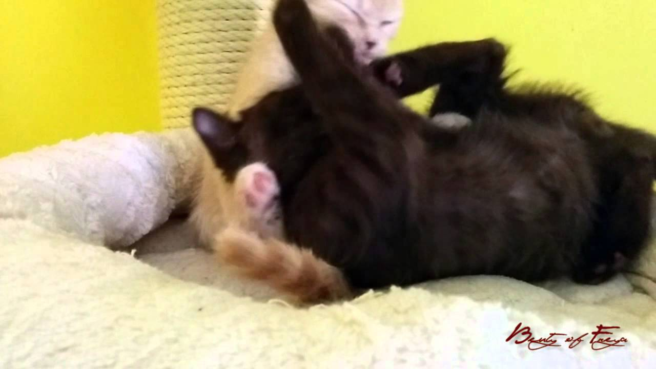 Uzgjaivačnica Britanskih kratkodlakih mačaka Beauty of Freya: Leglo V5  - vanilija i čokolada