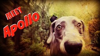 My Dog Apollo (silver Weimaraner)