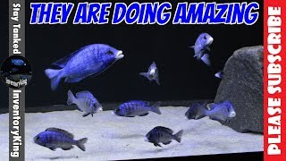 How Are The Mdoka White Lips Looking These Days? One Of A Kind African Cichlid Aquarium Fish