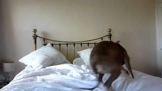 Собаку колбасит на кровати  Приколы(Веселые приколы с котами и животными, а также их хозяевами, ну и прочими лицами. 0:20 смотрите здесь 0:32 и здесь..., 2013-09-10T23:22:01.000Z)