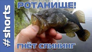 Трофейный РОТАН гнёт спиннинг shorts