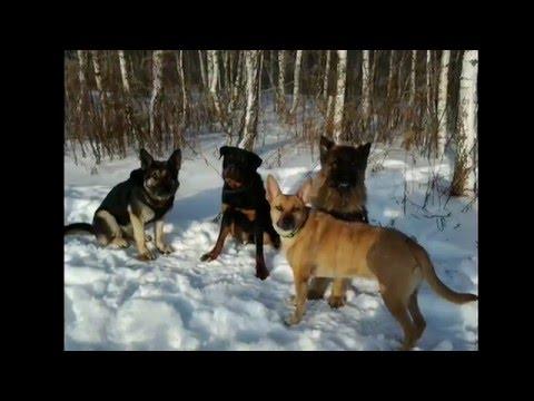 Банда собак.