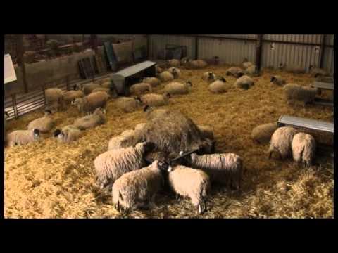 EBLEX BRP lamb survival guide: The housing environment