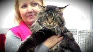Мейн Кун - Описание и Характер породы, Огромные Коты | ПОРОДЫ КОШЕК