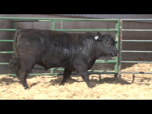 Schiefelbein Angus Farms Lot 95