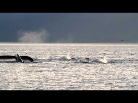 humpback whales doing bubble net feeding (hunting technique)
