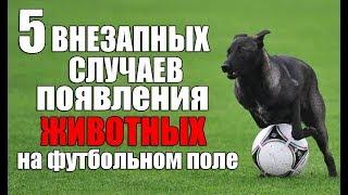 5 ВНЕЗАПНЫХ СЛУЧАЕВ  - появления животных на футбольном поле (перезалив)