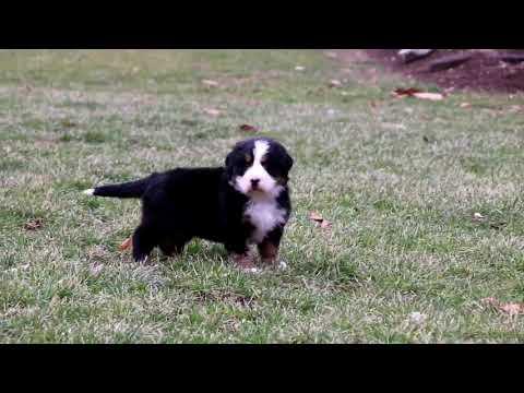 Bernese Mountain Dog Puppy For Sale David Stoltzfus