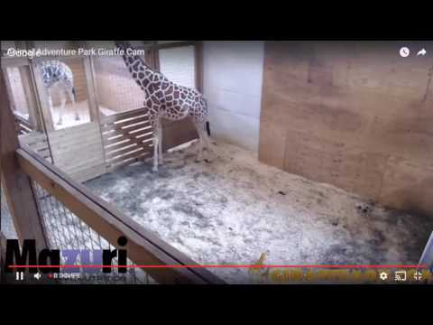 Thumbnail: LIVE STREAM | Animal Adventure Park Cam April The Giraffe Giving Birth