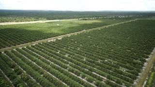 Venus Grove in Highlands County, Florida - 159.40 +/- Acre Citrus Grove FOR SALE