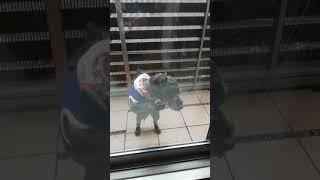 トイプードルとコッカスパニエルのミックス犬コッカプーのコタツ君。ベ...