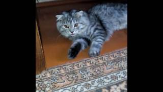 Кот дышит с открытым ртом