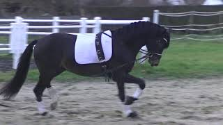 **** expressive moving 3 y old  dressage KWPN by Schwarzgold-Apache for sale