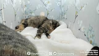 Nelia's kittens want out! #BellehVision on TinyKittens.com thumbnail