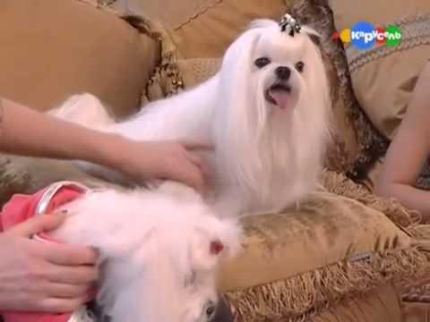 Про породу собак - Мальтийская болонка (Maltese)