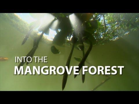 Into the Mangrove Forest | UnderH2O | PBS Digital Studios